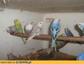 sprzedam papugi faliste,  Papużki faliste cała Polska