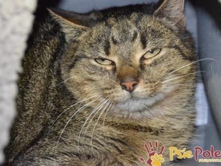 BIERCIA-śliczna  nieco nieśmiała  młoda bura koteczka szuka domu  adopcja