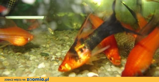 Rybki akwariowe – mieczyki weloniaste