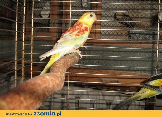 sprzedam świergoty,  Papugi inne cała Polska