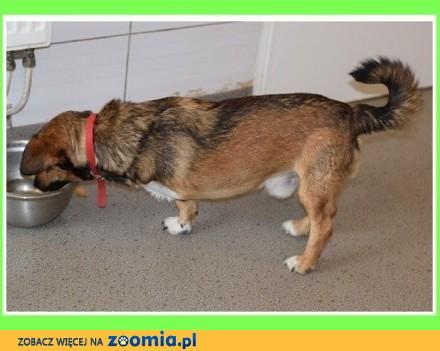 Trójłapek POLEK  2 letni  przesympatyczny łagodny towarzyski psiak_Adopcja
