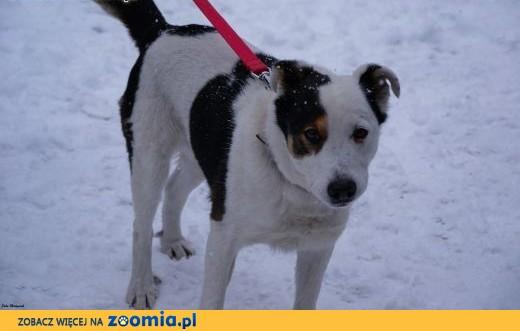 łaciaty pies-Kodi,  śląskie Częstochowa