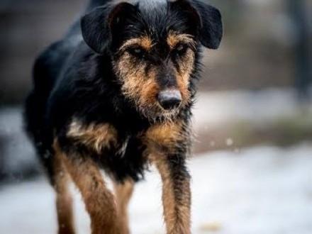 Szukasz psa w typie terriera? Nawet jeśli nie  to i tak spójrz na Dżagera   lubelskie Lublin