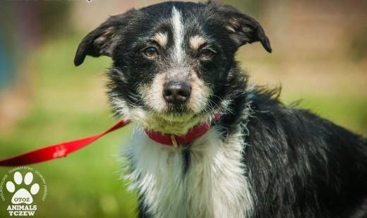 OTOZ Animals - Kolo - mały  cudowny psiak  który nie traci nadziei!   pomorskie Tczew