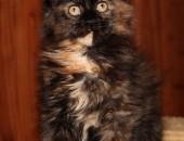 RIHANNA Bratnia Dusza *PL - koteczka rasy Maine Coon