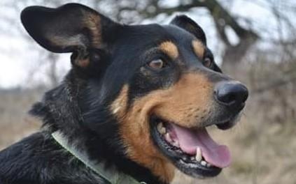 KUMPEL - wyrzucony do lasu jak śmieć kochany psiak szuka domu
