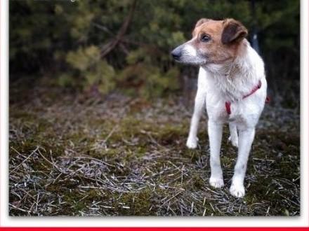 'Rodzinny psiak,spokojny,łagodny,szczepiony,średni 13 kg, BODY.Adopcja.,  łódzkie Łódź