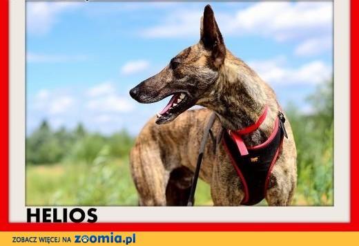 Oryginał Ogłoszenia: oddam psa, oddam szczeniaka Cane Corso pl 1 NF37