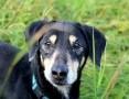 KUBUŚ psi ideał w typie jamnika czeka na kogoś kto go pokocha