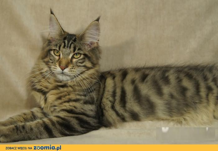 Kotka Mco Czarna Tygrysio Pręgowana Maine Coon Koty Archiwum