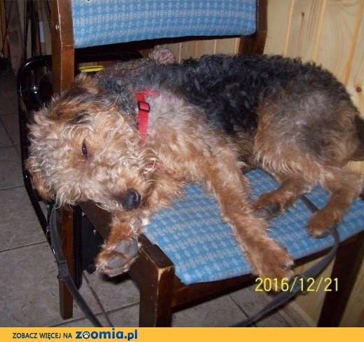 Zaginął pies - młody terier walijski,  świętokrzyskie Sandomierz