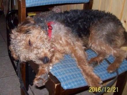 Zaginął pies - młody terier walijski   świętokrzyskie Sandomierz
