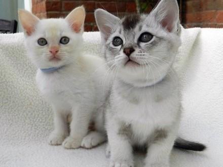 Piękne kocięta birmańskie!