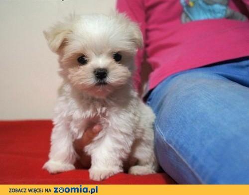 Znane Pies Maltańczyk - ogłoszenia z hodowli. Psy Maltańczyki / Zoomia  QQ-15