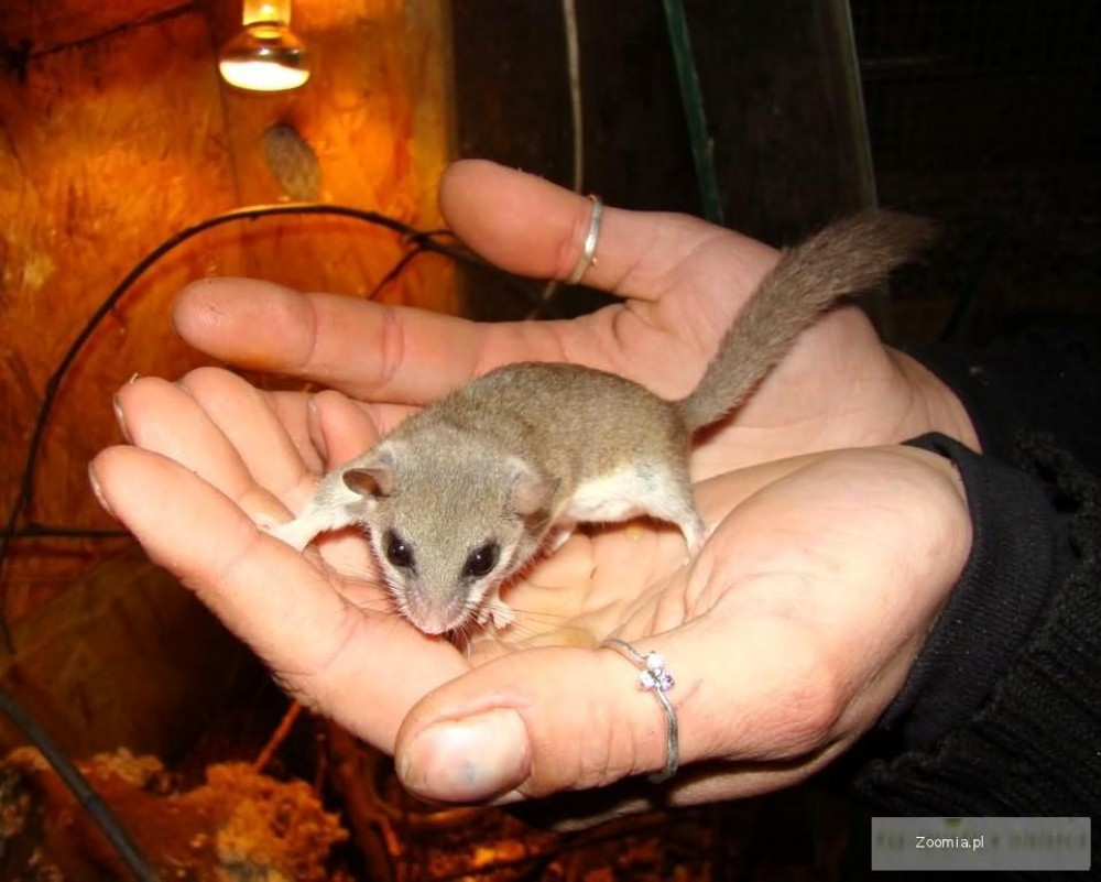 POPIELICA AFRYKAŃSKA Graphiurus murinus - Sklep Zoologiczny ZooWitek