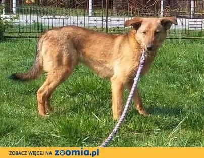LAKI – 3-letni, delikatny i nieśmiały psiak do adopcji,  małopolskie Kraków
