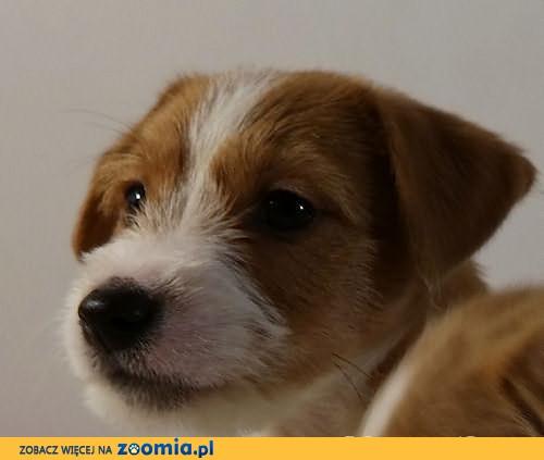 Szczenięta Jack Russell Terrier - Związek Kynologiczny w Polsce (FCI)