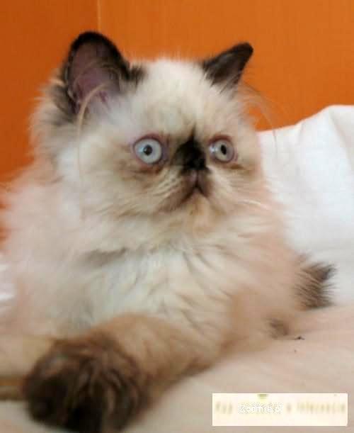 Śliczna koteczka perska colorpoint ze znaczeniami szylkretowymi