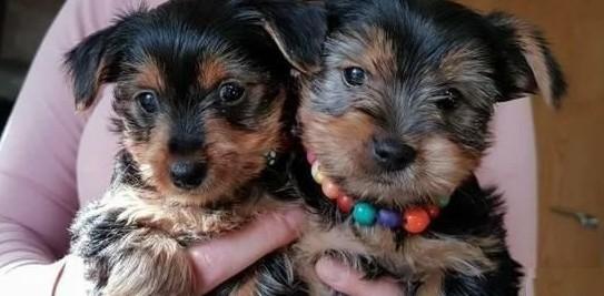 Yorkshire Terrier szczenieta gotowe na godny zaufania dom
