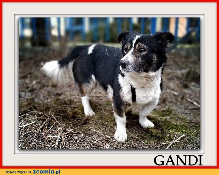 Niewielki 10 kg,łagodny,spokojny,kontaktowy,szczepiony piesek GANDI_Adopcja_