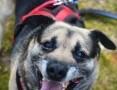 Budrys - radosny, niekonfliktowy psiak szuka domu!
