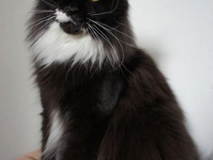 Piękna koteczka Maine Coon   Koty maine coon cała Polska
