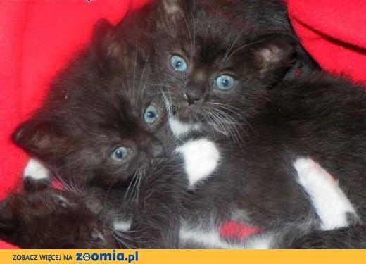 Maluszki kotki zdrowe z książeczkami szukają domów,  mazowieckie Warszawa