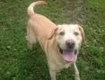 Labrador Bras rozgląda się za kochającym domem_