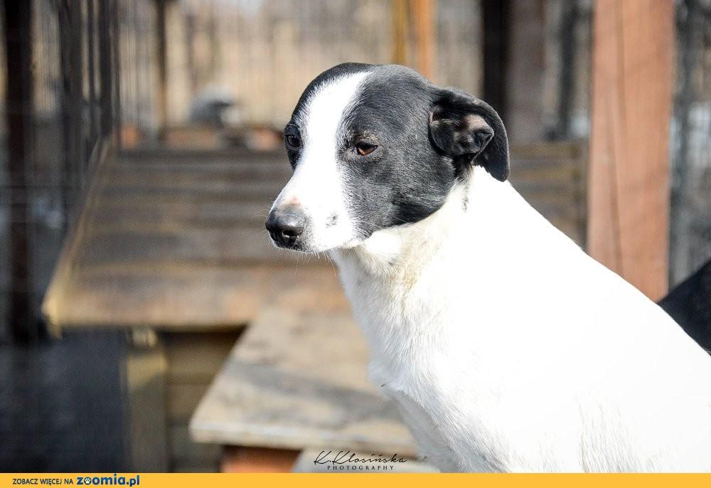 Nietypowy Łatek, przyjazny i wesoły psiaczek czeka, może właśnie na Ciebie?