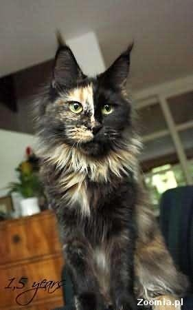 Reprezentacyjne ,dostojne koty maine coon.