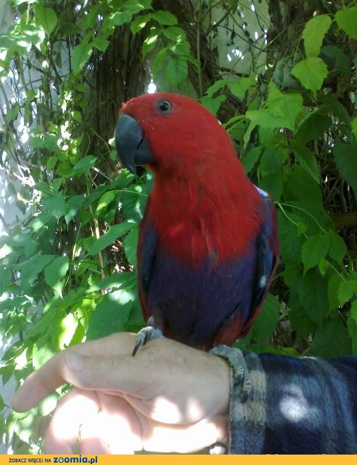 Sprzedam papugi;