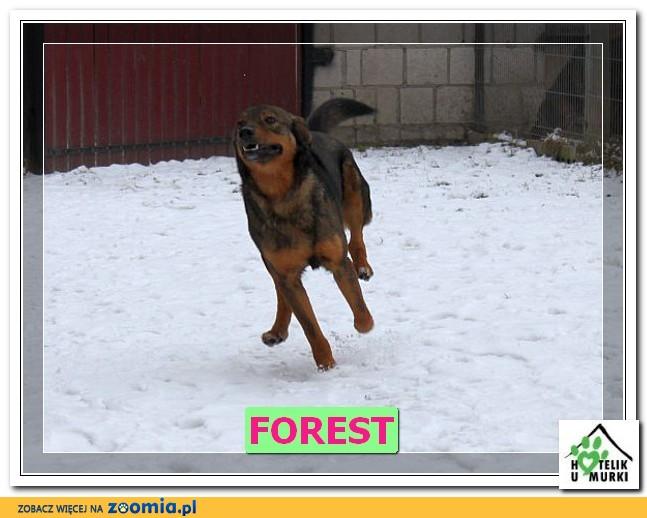 Młody Forest, psie cudo, dzieciolubny, łagodny i wesoły!