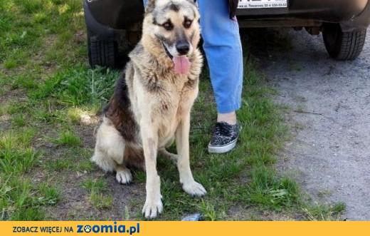 Poznaj DAKTYLA - wspaniałego oddanego psiaka w typie owczarka. ,  mazowieckie Warszawa