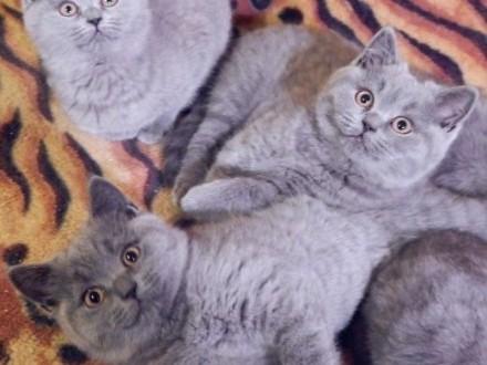 dwa niebieskie kocurki i trzy koteczki brytyjskie   mazowieckie Sochaczew