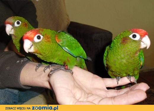 Ręcznie karmione Papużki,  podkarpackie Przemyśl