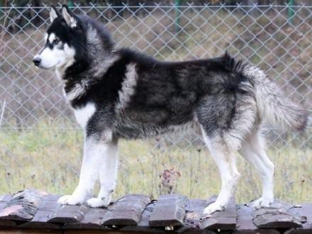 Malik - piękny pies w typie husky :)