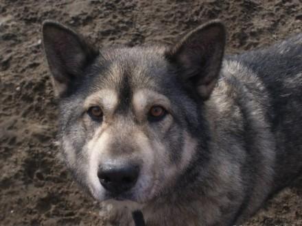 Bombur - łagodny  przyjacielski pies mix alaskan malamute
