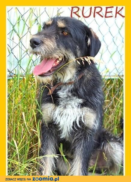 RUREK-sznaucer mix,zrównoważony,łagodny,duży pies.ADOPCJA