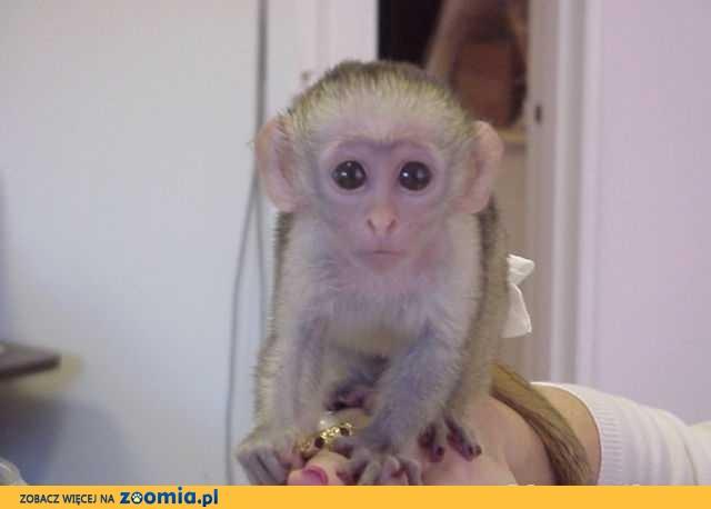 Piękne Kapucynów małpy do przyjęcia.