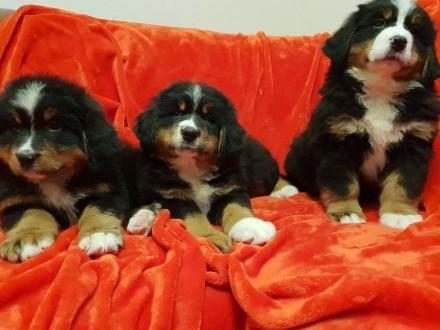 Berneński Pies Pasterski z rodowodem ZKWP