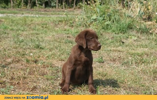 Labrador retriever czekoladowa sunia 5 miesięcy