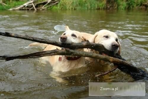 Labradory z rodowodem do adopcji