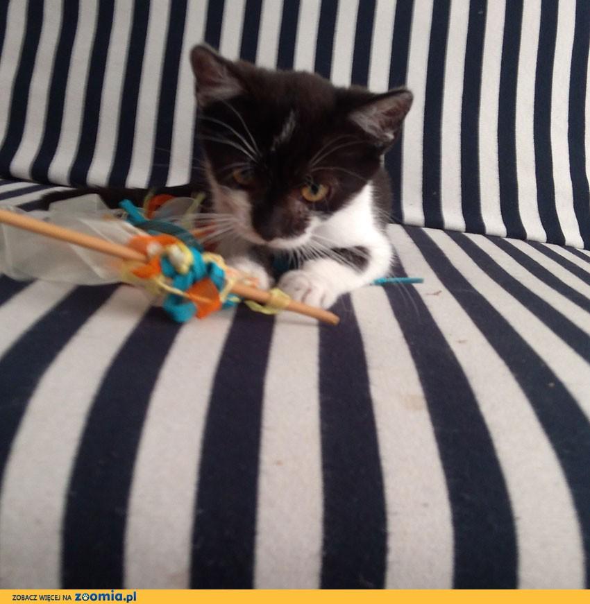 Biało – czarna koteczka do pilnej adopcji