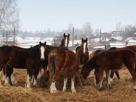 Ukraina Konie  zwierzeta hodowlane  ogiery  klacze  siwe rysaki 900 zl Stajnia koni  koszary  stragi  gospodarstwo rolne  laki  pastwiska  stawy