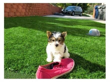 Yorkshire Terrier Warszawa