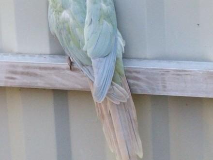 papugi sprzedam rudosterki zielonolice w mutacjach fiolet pineapple i mint