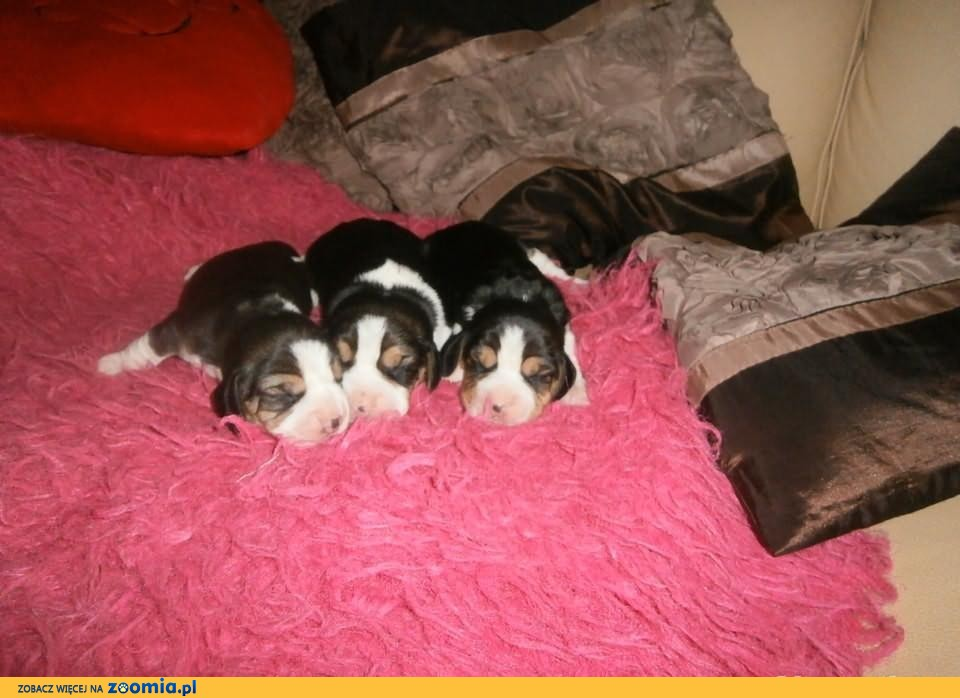 beagle beagiel bigle