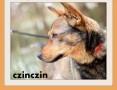 CZINCZIN-mały,8kg,łagodny,tulaśny,wesoły piesek.ADOPCJA,  dolnośląskie Wrocław