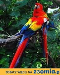 Przyjmę Papugę Ara Nimfa Żako