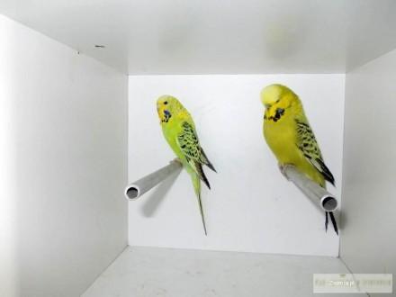 sprzedam papugi faliste wystawowe